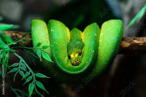 Cuadros en Lienzo green snake hanging on a tree branch close up