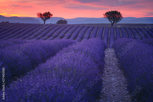 Prune Lavender fields in Provence France ladnscape pretty hot summer
