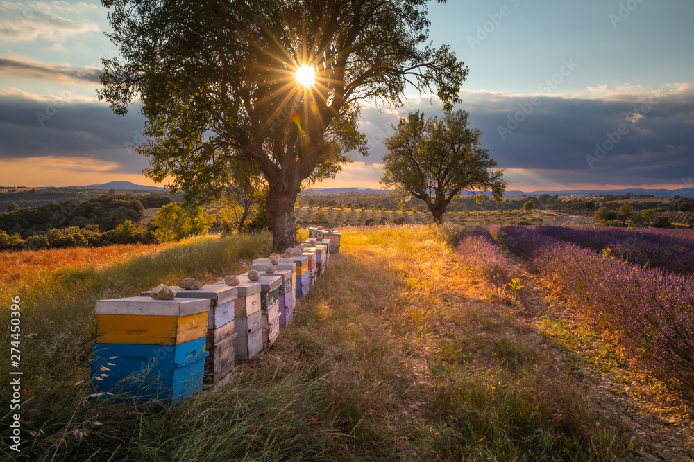 Fototapeta Lavender fields in Provence France ladnscape pretty hot summer