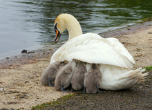 Swan Mother With Offspring