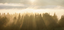 Panorama Of Pine Forest In Morning Mist Fog With Sun Rays.