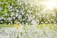 Poplar Fluff Lies In The Green Grass And Flies Through The Air In The Rays Of Sunlight. Selective Soft Focus.  Strong Allergen, Health Hazard Concept.