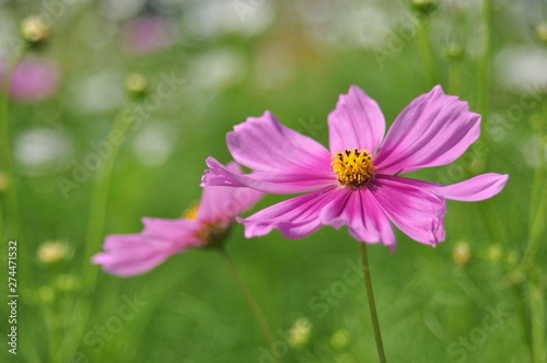 Poster Nature pink flower in the garden
