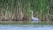 Grey Heron Stands In The Water Waiting For Prey Near Tall Reeds On A Calm Wild Lake. Close Up. Landscape. Background. 4K