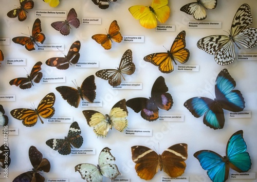 An assorted butterfly collection in a glass display case with name labels