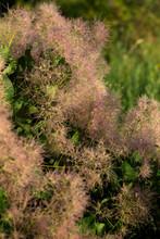 Skumpiya Tanning (Cotinus Coggygria Flower, The European Smoketree, Eurasian Smoketree, Smoke Tree, Smoke Bush, Venice Sumach).  A Branch With Pink Veins.
