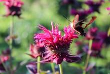 Clearwing Hummingbird Moth On Bee Balm