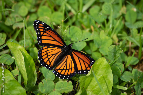 Viceroy butterfly in the clover