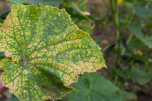 Cucumber Leaf Affected By Spider Mites.