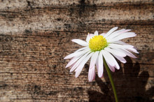 Light Pink Daisy On Wood Texture Background.