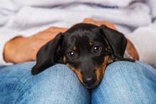 Cute Dachshund Puppy Lying On ...