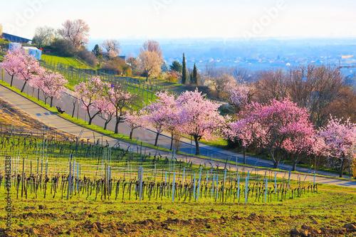 Photo  Landschaft rund um Gimmeldingen während der Mandelblüte im Frühling - landscape