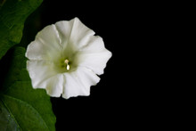 Easy Wave White Petunia Flower...