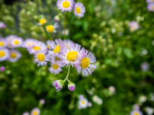 Wild Pink Fleabane Flowers