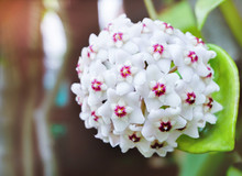 White Hoya Carnosa Flowers  Bouquet Star Red Pollen Shape Flower.Colorful Plant Summer Season. Wax Plant Or Wax Flowers Or Porcelain Flower.