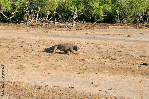 Komodo dragon walking on floodplain