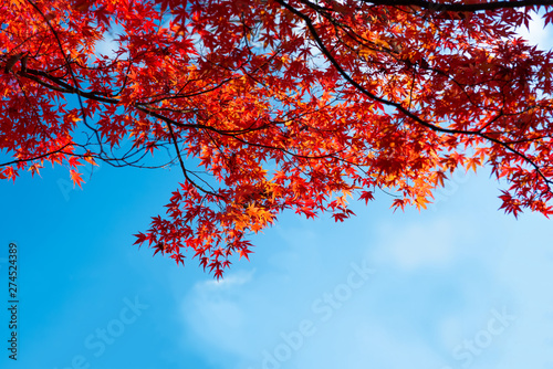 beautiful japanese red maple with blue sky autumn background with copy space Fototapete