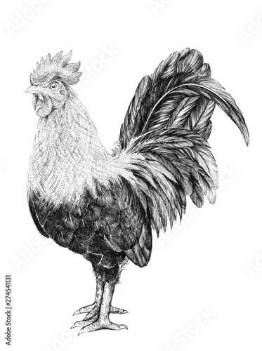 Fotografie, Obraz Drawing of a rooster, a rooster with a comb and a tail