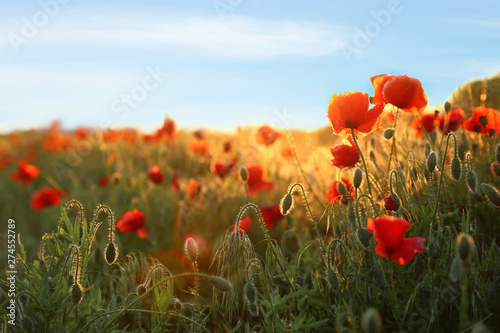 Poster Poppy Sunlit field of beautiful blooming red poppy flowers and blue sky