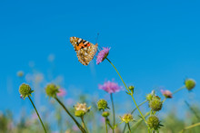 Colorful Butterfly Feeding On A Bright Pink Flower. Macro Of A Painted Lady Butterfly Against Blue Sky. Butterfly On A Spring Flower Among The Field