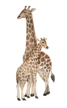 Hand Drawn Watercolor Illustration With Cute Giraffes. Baby And Mother Giraffe Isolated On The White Background