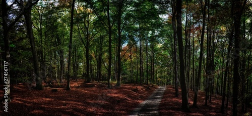 Fotografia, Obraz  Beech trees forest/woodland with gravel road at autumn afternoon daylight