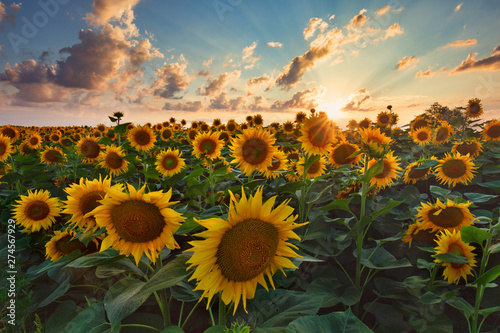Autocollant pour porte Tournesol Sunflowers in the field, summertime agricultural background