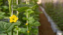 Mild Sunshine On Surface Of Young Little Yellow Melon Flower Is Growing With Green Leaves On Hanging White Rope And Blur Organic Greenhouse Area Background, Cultivation And Agriculture Concept