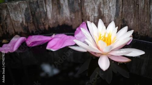 Foto auf Gartenposter Wasserlilien pink water lily in pond