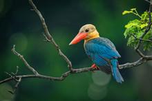 Stork-billed Kingfisher (Pelar...