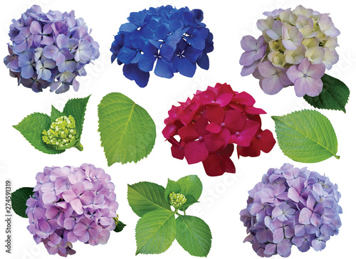Fotografie, Tablou collection of hydrangea flowers isolated on white