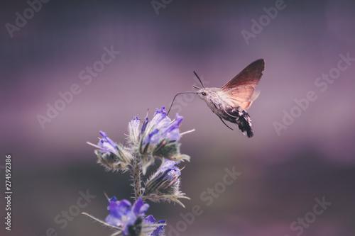 Fototapeta hummingbird hawk moths hovering and probing nectar