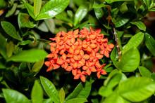 Orange Spike Flower In Group Leaf On Nature At Thailand