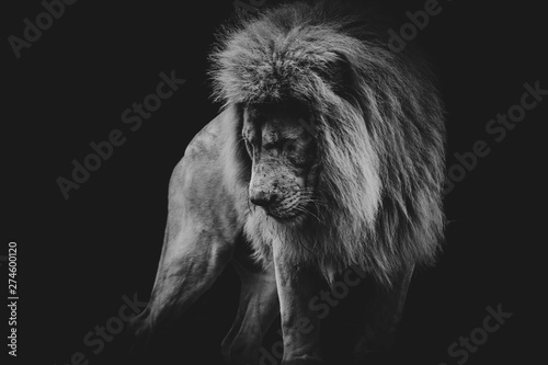 black and white dark portrait of a African lion