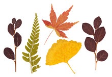 Set Of Asian Dry Pressed Leaves Of Various Shapes Isolated