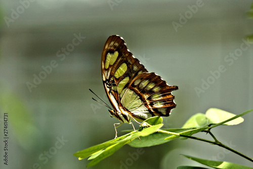 Beautiful malachite butterfly on a leaf from Butterfly Estates, Fort Myers, Florida