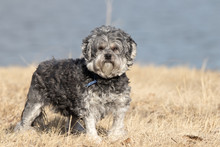 Lowchen Dressed Dog Photo Shoo...