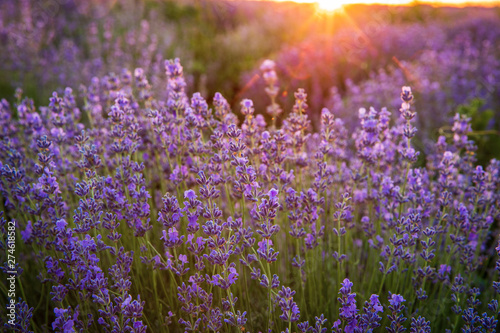 Fotografie, Obraz  Purple blossoming lavender in the fields