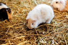 Cute Red And White Guinea Pig ...