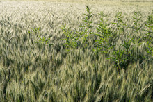 Close-up On A Wheat Field With...