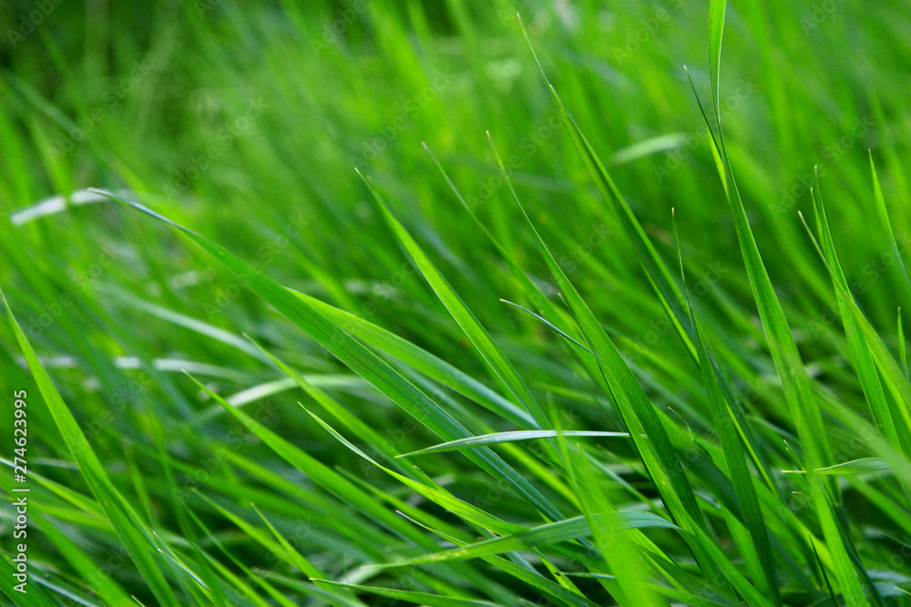 Fototapety, obrazy: Macro shot of bright green grass sprouts in spring. Green meadow of closeup fresh grass.