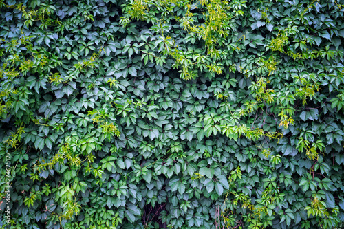 Fototapety, obrazy: Green ivy background. Fresh green leaves texture