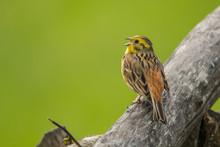 Yellowhammer (Emberiza Citrinella). A Singing Bird On A Beautiful Green Background. Polesie. Ukraine