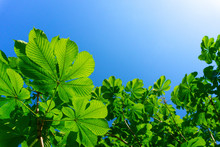 Green Leaves Against Blue Sky. Chestnut Leaves And Sun. New Life Concept, Nature Background.