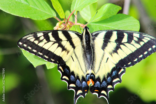 Yellow Swallotail Butterfly with honeysuckle