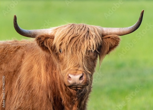 Fototapety, obrazy: A close up photo of a Highland Cow