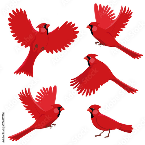 Bird red cardinal in different positions Wallpaper Mural