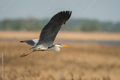 Grey heron (Ardea cinerea) Polesie. Ukraine Canvas Print
