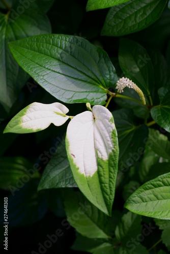 緑の葉の一部が白くなる半夏生 Buy This Stock Photo And Explore