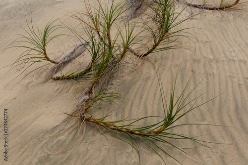 Fotografie, Obraz Golden sedge grass, or pingao, on Te Paki sand dunes in Northland, New Zealand